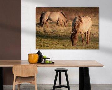 Konik-Pferde im Abendlicht von Melissa Peltenburg