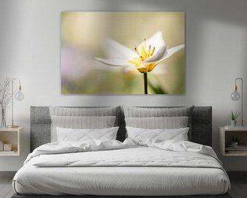 mini tulp soft in de lente van KB Design & Photography (Karen Brouwer)
