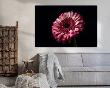 Rose Gerbera mit dunklem Hintergrund