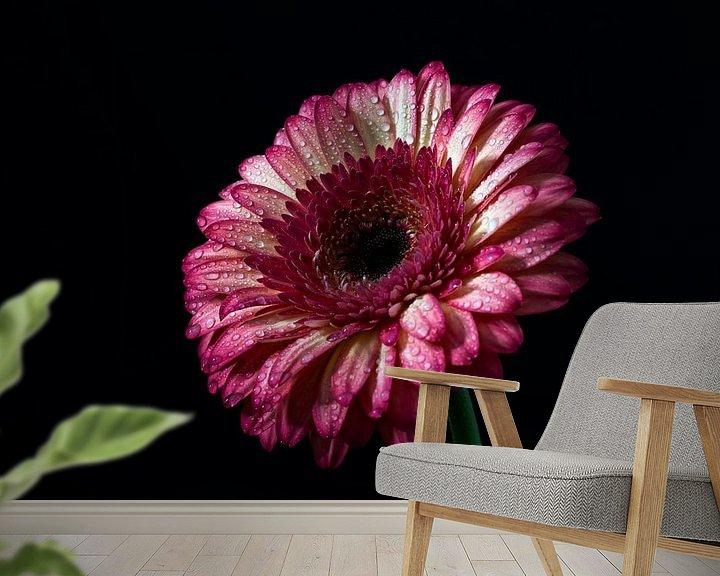 Beispiel fototapete: Rose Gerbera mit dunklem Hintergrund von Steven Dijkshoorn