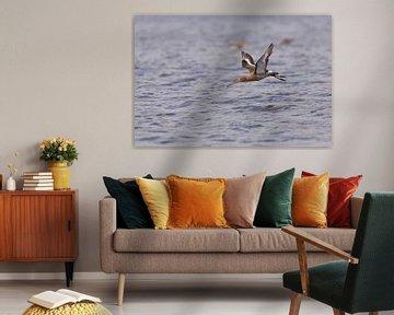 Uferschnepfe (Limosa limosa) fliegt aus dem Wasser von Eric Wander