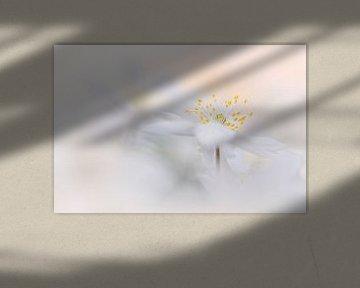 Magische Buschwindröschen von Bob Daalder
