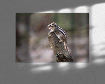 Siberische Eekhoorn van Marian van der Kallen Fotografie