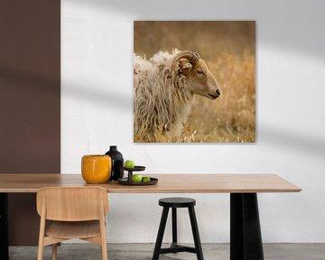 Moutons de la lande de Drents entre les hautes herbes sur Latifa - Natuurfotografie