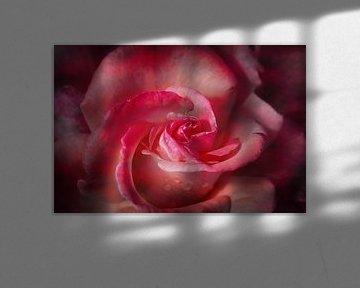 orange-rosa Rosenblüte mit dunkler Vignette, floraler Hintergrund von Susanne Bauernfeind