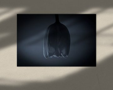 Tulp in de schaduw van Lynlabiephotography