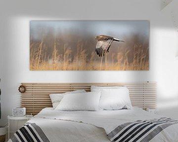 Een  panorama van een Kiekendief. De vogel vliegt met uitgespreide vleugels boven een rietkraag op d van Gea Veenstra