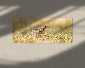 Gedetailleerde foto van een graspieper in panorama afmeting. De vogel zit in bijpassende groen en ge van Gea Veenstra