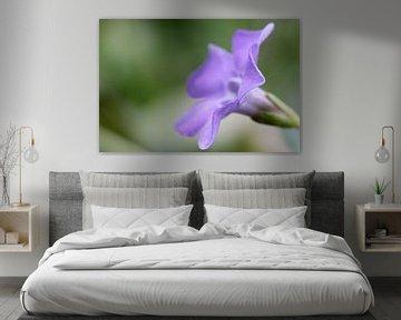 Paarse bloem van de kleine maagdenpalm von Studio Zwartlicht