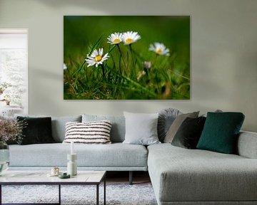 Gänseblümchen von Holger Spieker