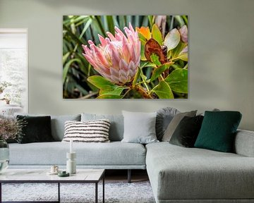 Koning Protea bloem (Protea cynaroides) bij Cape Foulwind, Nieuw-Zeeland van Christian Müringer