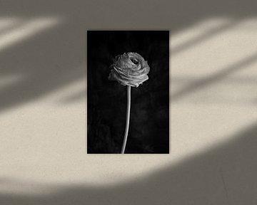 Ranunkel (schwarz und weiß) von Remke Spijkers