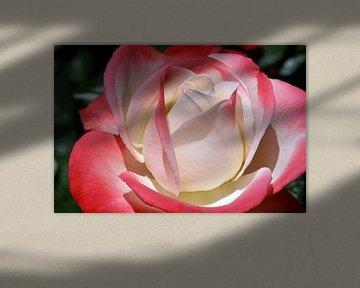 Rosenblüte von Norman Krauß