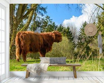 Schotse Hooglander in het Harderbos van Gerry van Roosmalen