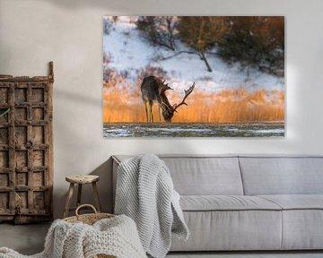 Hirsche | Damhirsche bei Sonnenuntergang in dieser Winterperiode von Servan Ott