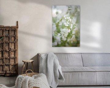 Zarte weiße Blüten von Silvio Schoisswohl