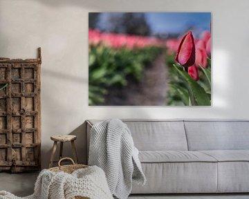 Hollandse Tulp van Eva De Mol