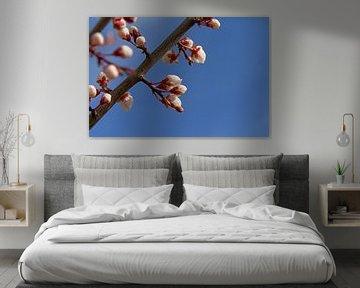 Aufkeimende Mandelblüten von Kristof Lauwers