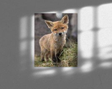 Dit jonge vosje (welpje) kijkt schattig in de lens