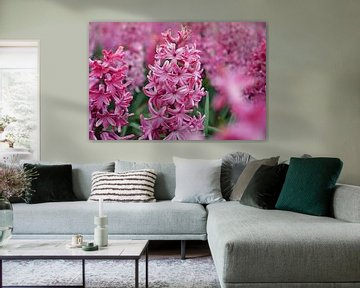Hyacint in de Bollenstreek/Nederland