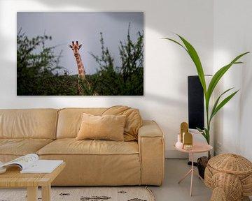Neugierige Giraffe schaut über den Busch von Awid Safaei