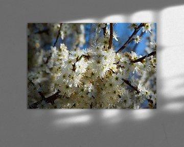 Blüte von johnvanhfoto