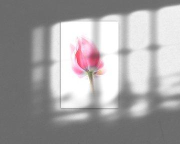 Roze tulp tegen een witte achtergrond van Jacqueline Gerhardt