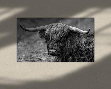 Schottisches Highland Rind von Roland Brack
