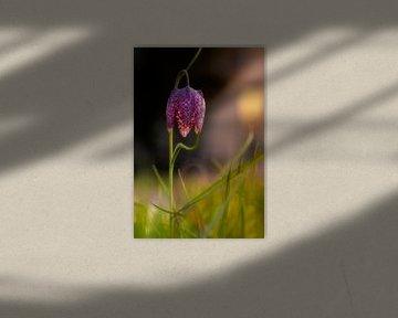 Kievitsbloem in de avond, Fritillaria meleagris van Adelheid Smitt