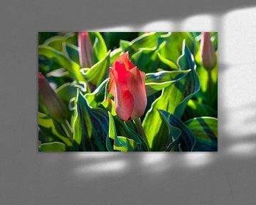 rote Tulpe von Jan Fritz