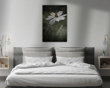Weiße Cosmea mit dunklem Hintergrund. von Ellen Driesse