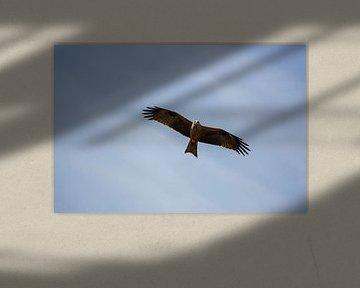 Schwarzmilan im Flug von Martin Steiner