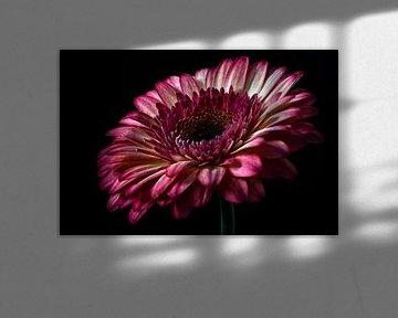 Gerbera rose couleur nature morte photographie
