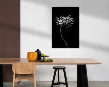 Entfernte getrocknete Blume mit langem Stiel in Schwarz und Weiß