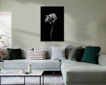 Schöne getrocknete Blume als Stillleben in schwarz und weiß von Steven Dijkshoorn