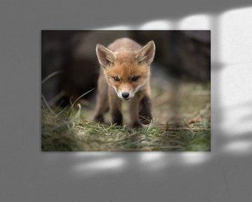 Junger Fuchs kommt zu Ihnen von Patrick van Bakkum