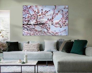 Kirschblüte im Schnee von Jiri Viehmann