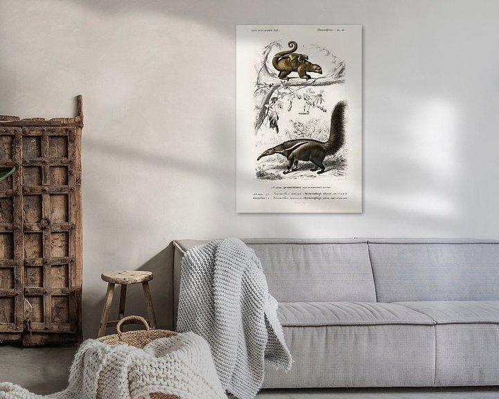 Beispiel: Pygmy anteater (Cyclopes didactylus) and Giant anteater (Myrmecophaga tridactyla) von Heinz Bucher