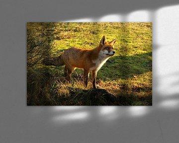 Fuchs in den Dünen der Amsterdamer Wasserversorgung von Liselotte Helleman