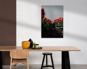 Isolierte Tulpe von Erik Lei