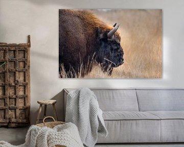 Wisent op de Maashorst | portret Europese bizon Nederland