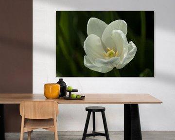 Weisse Tulpe von Martin Steiner