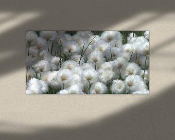 Baumwollpflanze von Rudy & Gisela Schlechter