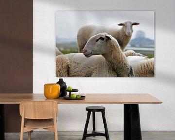 Nahaufnahme eines gerade geschorenen Schafes mit weiteren Schafen im Hintergrund von Robin Verhoef