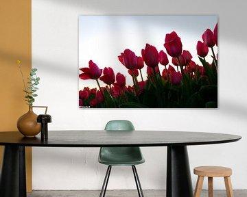 Tulipes dans la zone de culture des bulbes sur tiny brok