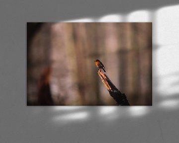 Nahaufnahme eines Rotkehlchens in den Amsterdamer Wasserversorgungsdünen von Michiel de Bruin