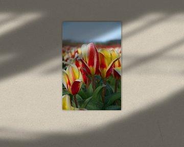 Tulpen in Rot und Gelb im Zwiebelanbaugebiet von tiny brok