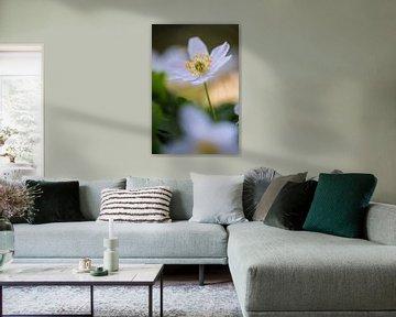 Die Buschwindröschen (Anemone nemorosa) von Lisa Antoinette Photography