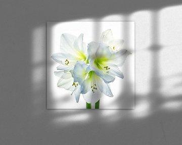Amaryllis weiß, 5 Blüten von Klaartje Majoor