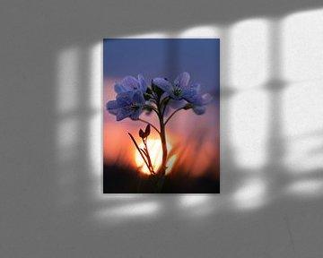 Weißblume bei Sonnenuntergang von Femke Straten